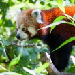 Red panda lies on a tree branch — Stock Photo