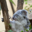 Koala a bear sits on a branch of a tree — Stock Photo
