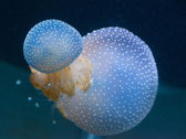 Big poisonous jellyfishes floating in the depth of the ocean — Stock Photo