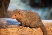 Mongoose sits on an old tree — Stock Photo