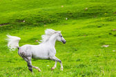 Gray Arab horse gallops on a green meadow — Stock Photo