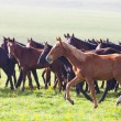 Stock Photo: Herd of horses on a summer pasture