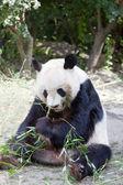Enorme panda — Foto de Stock