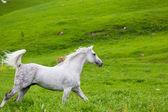 Gray Arab horse — Stock Photo