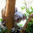 Koala a bear sits on a branch of a tree and sleeps — Stock Photo