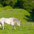 Gray Arab horse is grazed on a green meadow — Stock Photo