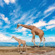 Family of giraffes — Stock Photo #34770879