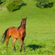 Bay horse of the Arab breed — Stock Photo