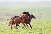 Three horses run — Stock Photo