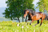 Bay horse on the meadow — Stok fotoğraf