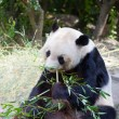 Huge panda — Stock Photo