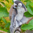 Lemur — Stock Photo