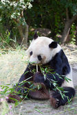 Huge panda — Stock Photo