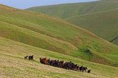 Stádo koní — Stock fotografie