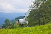 Gri arap atı — Stok fotoğraf