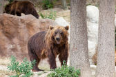 Gros ours brun de kamtchatka — Photo