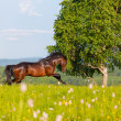 Bay horse — Stock Photo