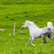 Gray Arab horse gallops — Stock Photo