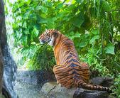 Sumatransky tiger — Stock Photo
