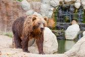 Big Kamchatka brown bear among stones in the wood — Stock Photo