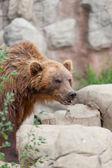 Stora kamtjatka brunbjörn bland stenar — Stockfoto