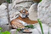 Sumatransky tiger lies on stones — Stock Photo
