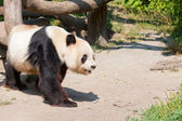 Huge panda a bear — Stock Photo
