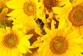 Background from blossoming sunflowers — Stock Photo