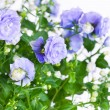 Campanula terry with blue flowers — Stock Photo #42736655