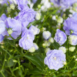 Campanula terry with blue flowers — Stock Photo #42736665