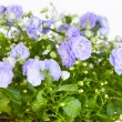 Campanula terry with blue flowers — Stock Photo #42736909