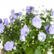 Campanula terry with blue flowers — Stock Photo #42736937