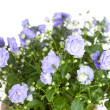 Campanula terry with blue flowers — Stock Photo