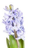 Hiacynt niebieski — Zdjęcie stockowe