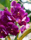 Bright flowers of an orchid vanda — Stock Photo
