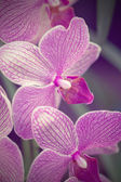 Pink orchid phalaenopsis — Stock Photo