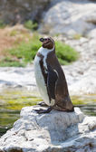 Humboldt's penguin standing on a stone — Stock Photo