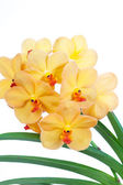 Orchids vanda — Stock Photo