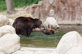 Kamchatka bears — Stock Photo