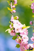 Japanese Cherry — Foto Stock