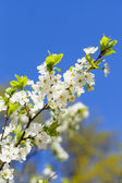 White cherry flowers — Stock fotografie