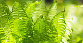 Fern green leaves — Stock Photo