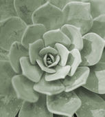Succulent echeveria rosettes — Stock Photo