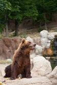 Big Kamchatka  bear — Stock Photo