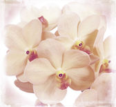 Flowers of an orchid vanda — Stock Photo