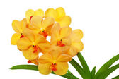 Bright yelloww flowers of an orchid vanda — Stock Photo