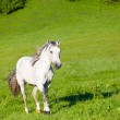 Gray horse is grazed on a green meadow — Stock Photo