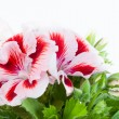 Blossoming royal geranium — Stock Photo #45137539