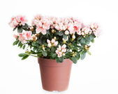 Blossoming azalea of a grade of Mevrouw Gerard Kint — Stock Photo