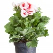 Blossoming geranium — Stock Photo #46796079